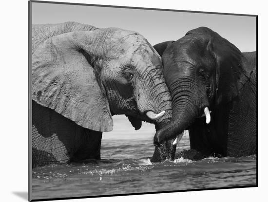 Two African Elephants Playing in River Chobe, Chobe National Park, Botswana-Tony Heald-Mounted Photographic Print