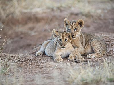 Two African Lion Cubs, Arm in Arm, as They Play in Kenya-Mark C. Ross-Photographic Print