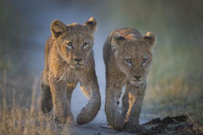 Two African Lion (Panthera Leo) Cubs Walking On A Path. Okavango Delta, Botswana-Wim van den Heever-Photographic Print