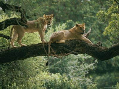 Two African Lions are Resting on a Tree Branch-Skip Brown-Photographic Print