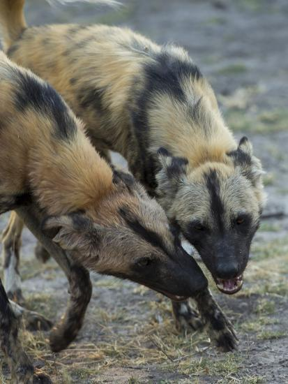 Two African Wild Dog, Lycaon Pictus, Fight and Spar with Each Other-Beverly Joubert-Photographic Print