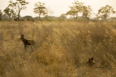 Two African Wild Dogs, Lycaon Pictus, in Grass at Sunset-Beverly Joubert-Photographic Print