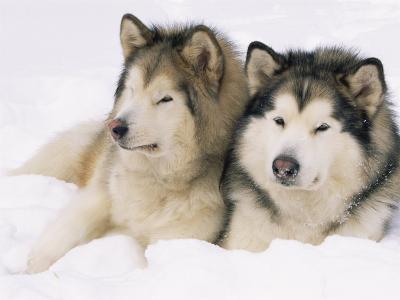 Two Alaskan Malamute Dogs, USA-Lynn M^ Stone-Photographic Print