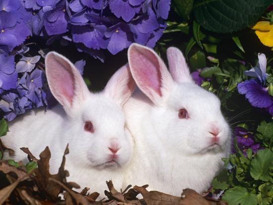 Two Albino New Zealand Domestic Rabbits, USA-Lynn M^ Stone-Photographic Print