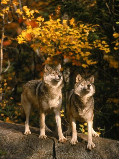 Two Alert Timber Wolves Standing on a Rock-Don Grall-Photographic Print