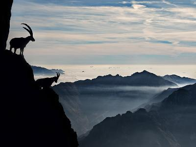Two Alpine Ibex Dominate from Above the Spectacular View of the Italian Alps.-ClickAlps-Photographic Print