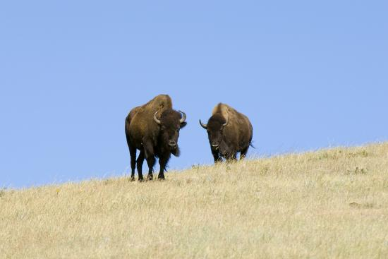 Two American Bison, Bison Bison, on the Top of an Hill-Sergio Pitamitz-Photographic Print