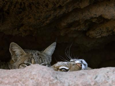 Two American Bobcats Peering over Rock in Cave. Arizona, USA-Philippe Clement-Photographic Print