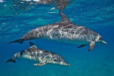 Two Atlantic Spotted Dolphins Swimming in Clear Water-Jim Abernethy-Photographic Print