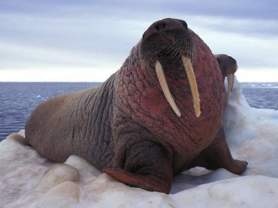 Two Atlantic Walrus Bask on Ice-Nick Norman-Photographic Print