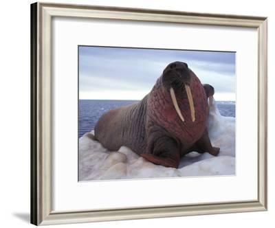Two Atlantic Walrus Bask on Ice-Nick Norman-Framed Photographic Print
