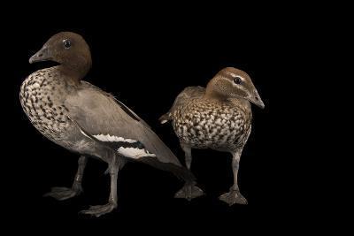 Two Australian Wood Ducks, Chenonetta Jubata, at Sylvan Heights Bird Park-Joel Sartore-Photographic Print