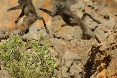 Two Baboons Leaping in Cederberg Wilderness Area, South Africa-Keith Ladzinski-Photographic Print