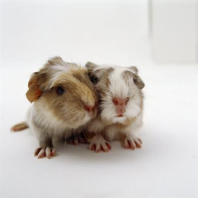 Two Baby Crested Guinea Pigs, One-Day-Jane Burton-Photographic Print