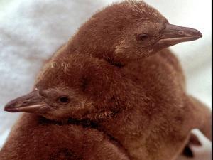Two Baby Humboldt Penguin Chicks Take Comfort