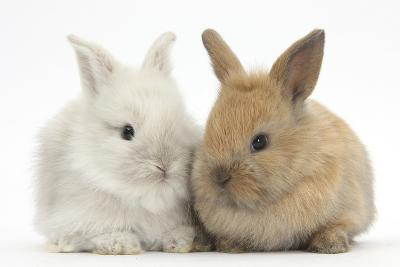 Two Baby Lionhead Cross Lop Bunnies-Mark Taylor-Photographic Print