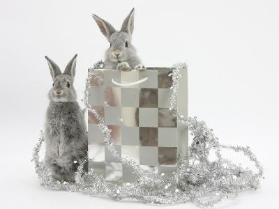 Two Baby Silver Rabbits in a Gift Bag with Christmas Tinsel-Mark Taylor-Photographic Print