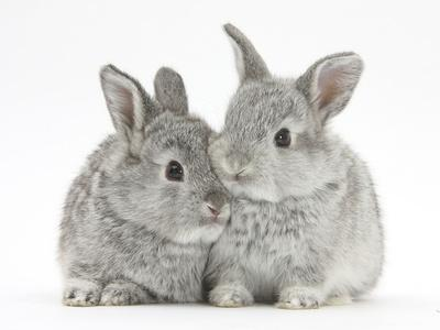 https://imgc.artprintimages.com/img/print/two-baby-silver-rabbits_u-l-q10o8l90.jpg?p=0
