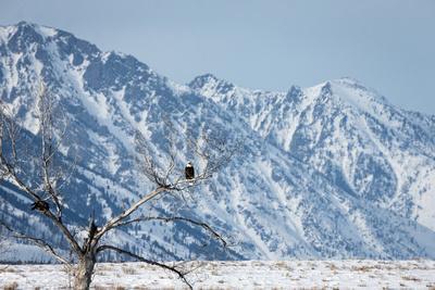 https://imgc.artprintimages.com/img/print/two-bald-eagles-haliaeetus-leucocephalus-perched-in-a-tree-on-a-snowy-day_u-l-pokuaf0.jpg?p=0