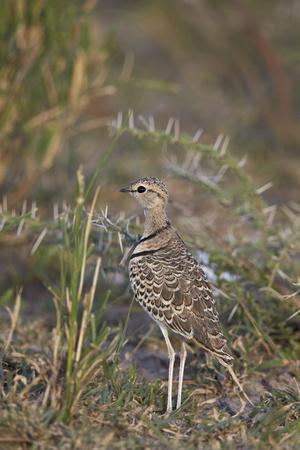 Two-Banded Courser (Double-Banded Courser) (Rhinoptilus Africanus)-James Hager-Photographic Print