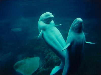 Two Beluga Whales Underwater-Jeff Foott-Photographic Print