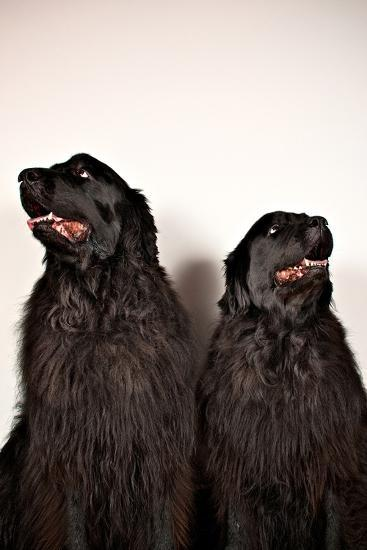 Two Big Dogs Look Away from One Another-Heather Perry-Photographic Print