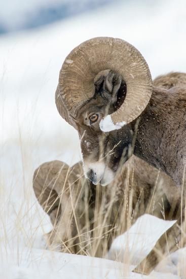 Two Bighorn Rams Digging for Grass Use their Front Feet to Push Away Snow with a Circular Motion-Tom Murphy-Photographic Print