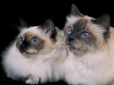 Two Birman Cats Showing Deep Blue Eyes-Adriano Bacchella-Photographic Print