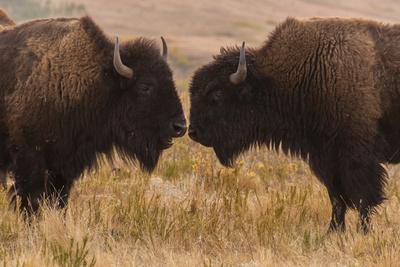 https://imgc.artprintimages.com/img/print/two-bison-face-to-face-custer-state-park-south-dakota-usa_u-l-pn6omm0.jpg?p=0
