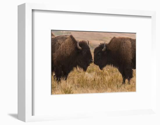 Two Bison Face-To-Face, Custer State Park, South Dakota, USA-Jaynes Gallery-Framed Photographic Print
