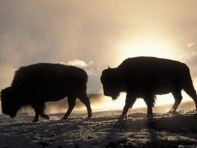 Two Bison Silhouetted Against Rising Sun, Yellowstone National Park, Wyoming, USA-Pete Cairns-Photographic Print