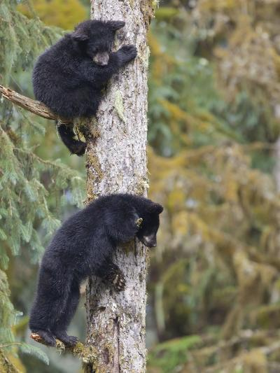 Two Black Bear Cubs in a Tree, Anan Creek, Alaska, USA-Jaynes Gallery-Photographic Print