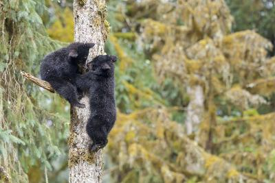 Two Black Bear Cubs in a Tree, Anan Creek, Alaska, USA-Jaynes Gallery-Photographic Print