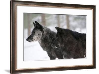 Two Black Melanistic Variants of North American Timber Wolf (Canis Lupus) in Snow, Austria, Europe-Louise Murray-Framed Photographic Print