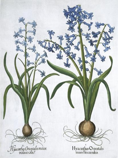 Two blue hyacinths, 1613-Unknown-Giclee Print