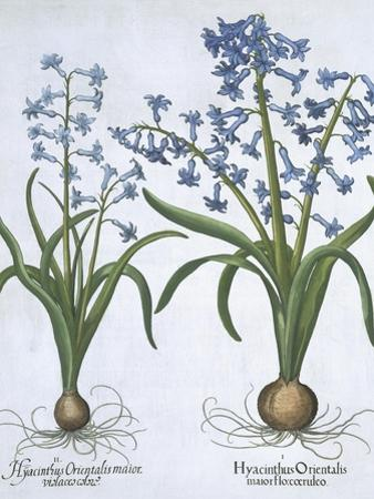 Two Blue Hyacinths, from Hortus Eystettensis, by Basil Besler