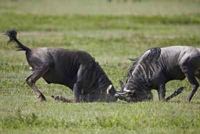 Two Blue Wildebeest (Brindled Gnu) (Connochaetes Taurinus) Bulls Fighting-James Hager-Photographic Print
