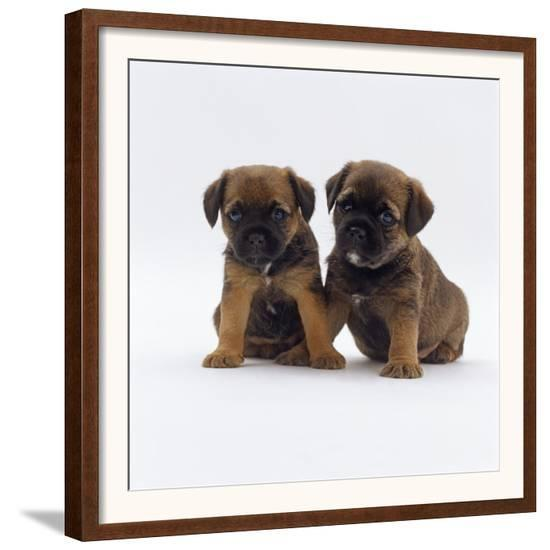 b0734888c29 Two Border Terrier Puppies 5 Weeks Old Sitting Together Framed Art