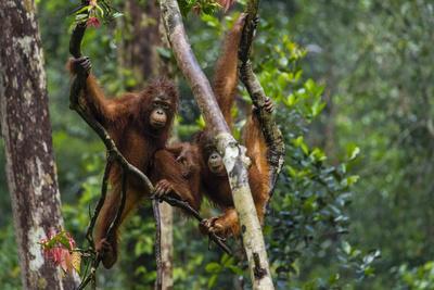 https://imgc.artprintimages.com/img/print/two-bornean-orangutans-pongo-pygmaeus-swinging-through-the-tree-tops_u-l-pyy0vl0.jpg?p=0