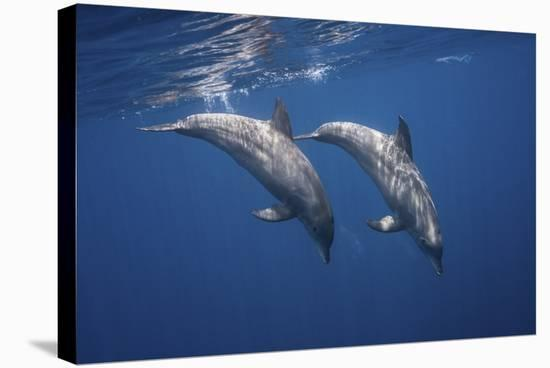 Two Bottlenose Dolphins-Barathieu Gabriel-Stretched Canvas Print