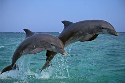 Two Bottlenosed Dolphins Jumping--Photographic Print