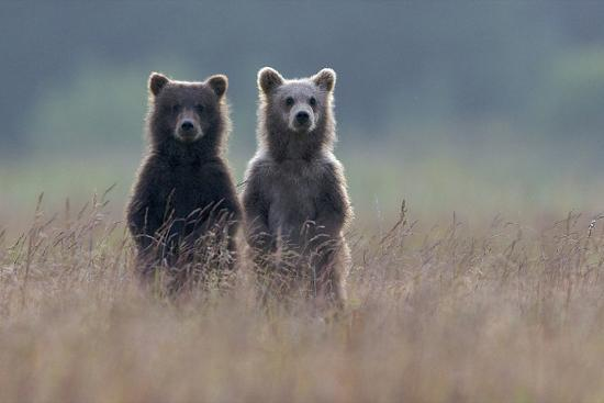 Two Brown Bear Spring Cubs Standing Side-by-side in Curiosity-Barrett Hedges-Photographic Print