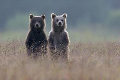 https://imgc.artprintimages.com/img/print/two-brown-bear-spring-cubs-standing-side-by-side-in-curiosity_u-l-pil4q20.jpg?p=0