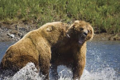 Two Brown Bears Fight over Salmon at Mikfik Creek During Summer in Southwest Alaska-Design Pics Inc-Photographic Print