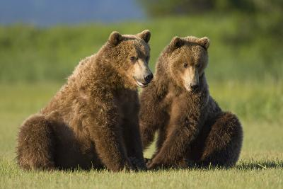 Two Brown Bears Sitting in Meadow at Hallo Bay-Paul Souders-Photographic Print