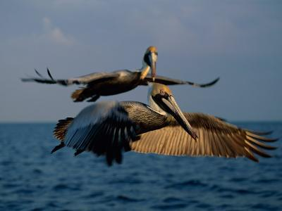 Two Brown Pelicans in Flight over Key Biscayne-Medford Taylor-Photographic Print