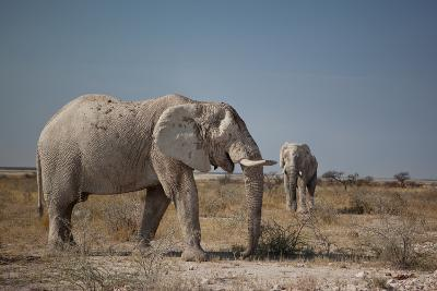 Two Bull Elephants in Etosha National Park, Namibia-Alex Saberi-Photographic Print