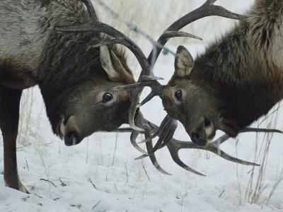 Two Bull Elk Lock Antlers in Confrontation-Tom Murphy-Photographic Print