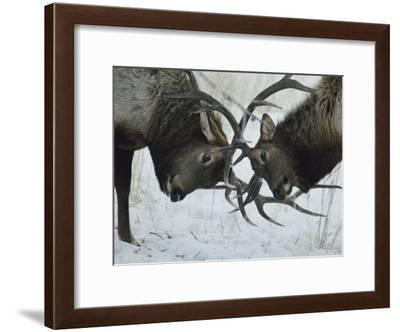 Two Bull Elk Lock Antlers in Confrontation-Tom Murphy-Framed Photographic Print