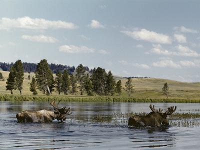 Two Bull Moose Wade Through a Lake Where They Have Come to Feed on Aquatic Plants-Dr^ Maurice G^ Hornocker-Photographic Print